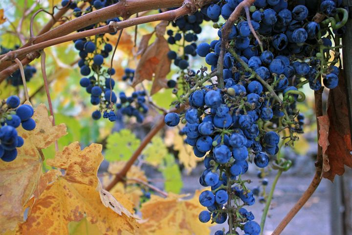 Grapes in the Fall - Photography by Armando