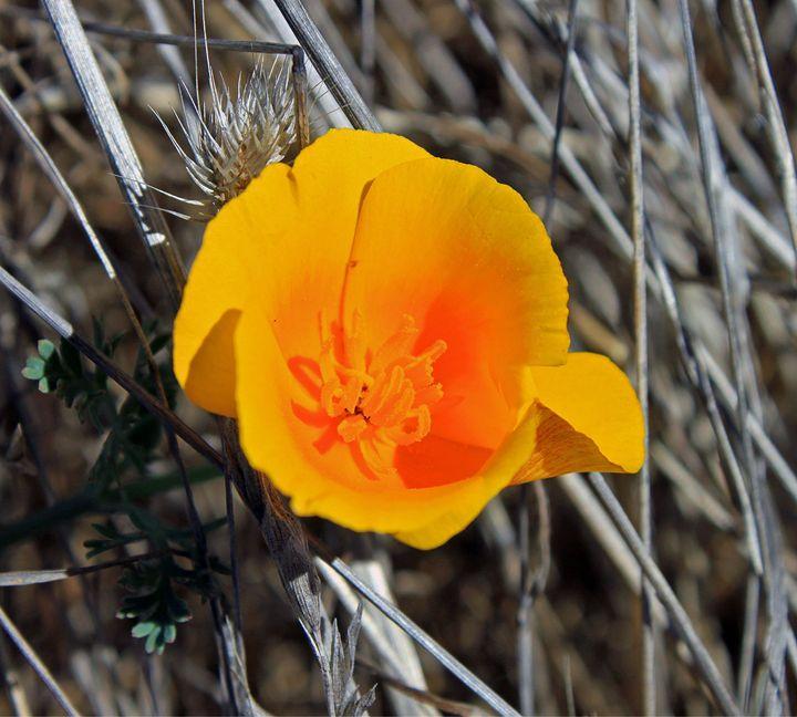 California Poppy - Photography by Armando