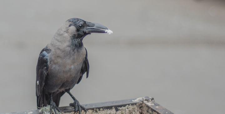 Crow - Photography