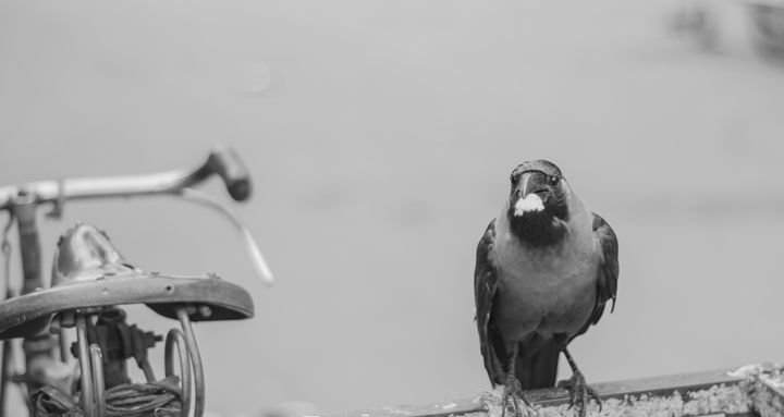 Crow - Photography