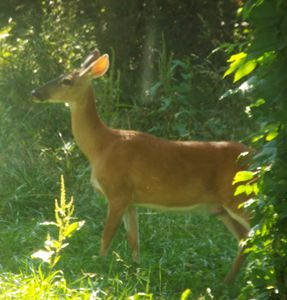 Deer one of God's beauties