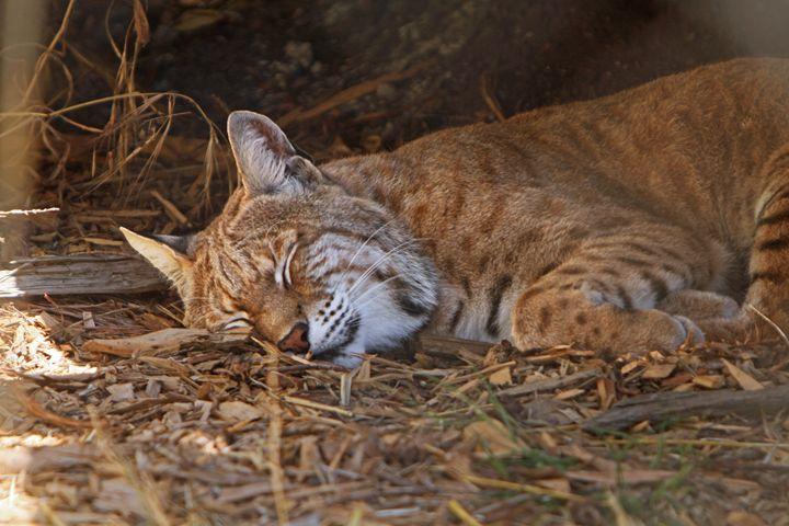 Sleeping Bobcat - Kimberly Goddard