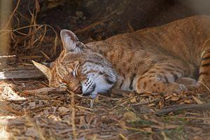 Sleeping Bobcat