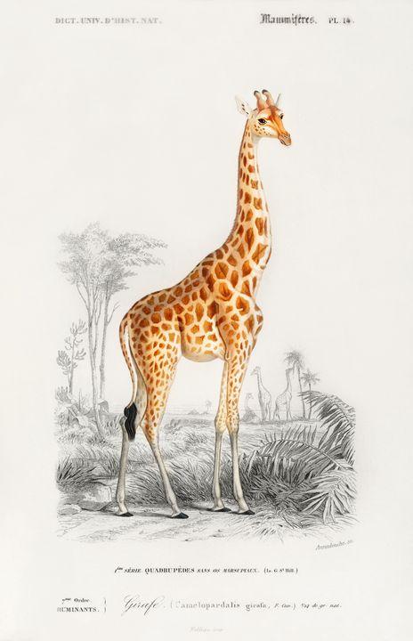 Girafe (Giraffa camelopardalis) - arthurazer