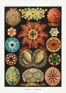 Ascidiae – Seescheiden