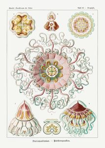Peromedusae – Talchenquallen