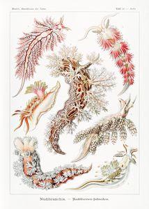 Nudibranchia – Nacktkiemen Schnecken