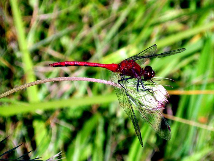 Dragonfly - LooseGoose Art