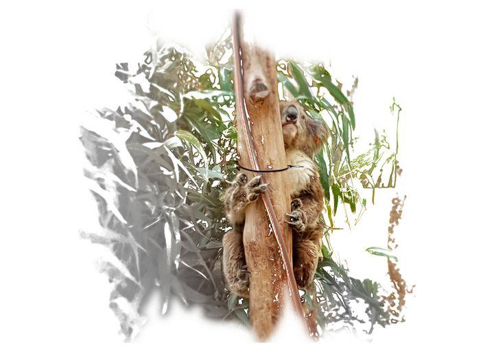 Koala Landscape - Thanatus