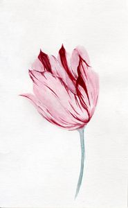 Viceroy Tulip Study 2 in Watercolor - Jack Sides