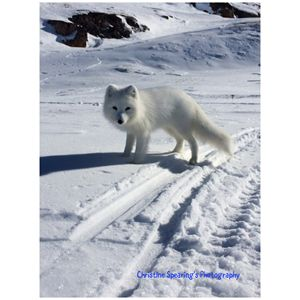 Arctic Fox - Christine's Artwork