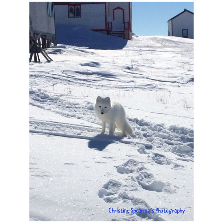 Arctic Fox - Christine's Artwork