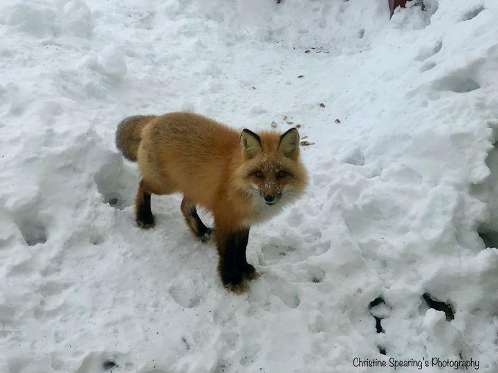 Red Fox - Christine's Artwork