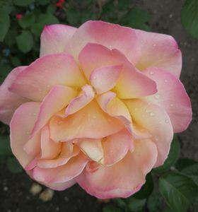 soft pink rose