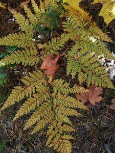 autumn fern leaf