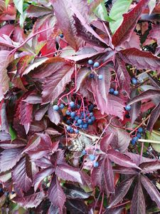 wild black grapes with red leaves