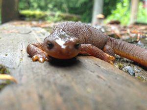 Salamander - Creatures