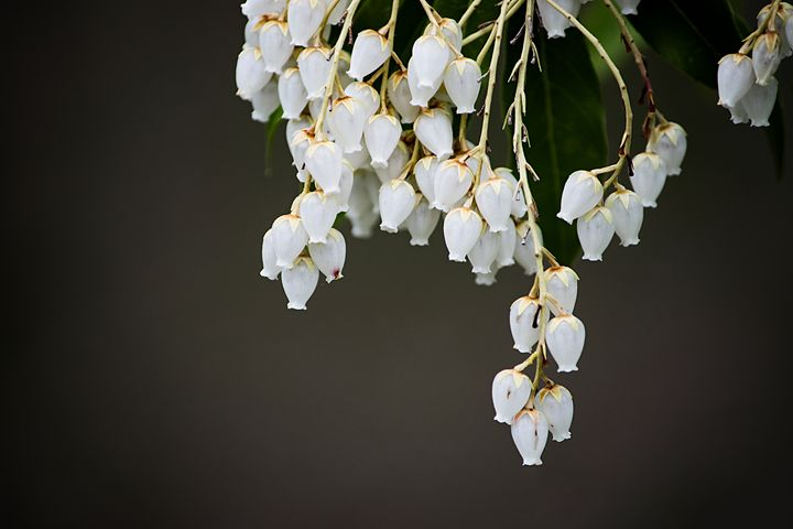 Dangling Flowers - Laurance Grube Photography