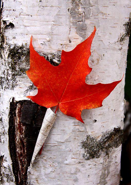 Red Maple Leaf - PhotosbyChris