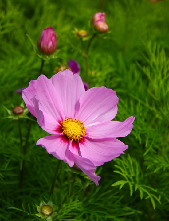 Lovely Cosmos - PhotosbyChris