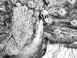 Peacock Portrait Drawing