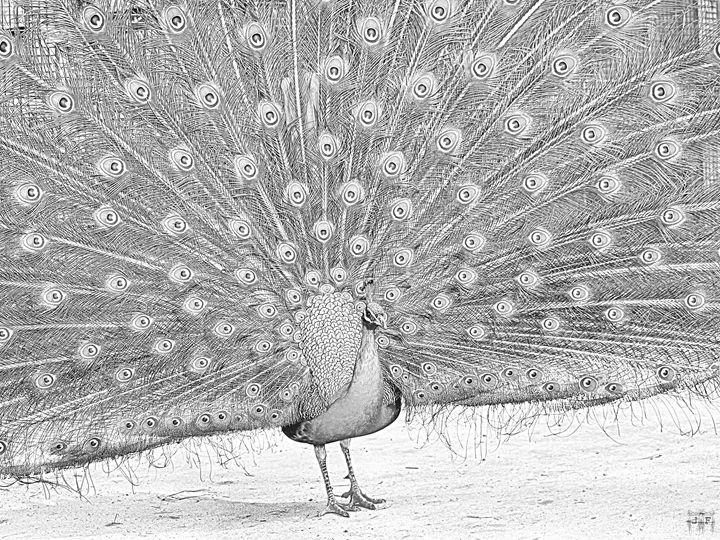 Peacock Full Spread Drawing - JFantasma Artistry