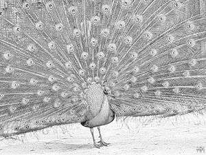 Peacock Full Spread Drawing