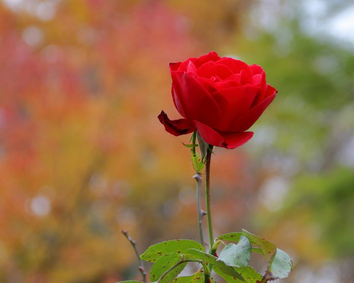 A Fall Rose - Adventure Images
