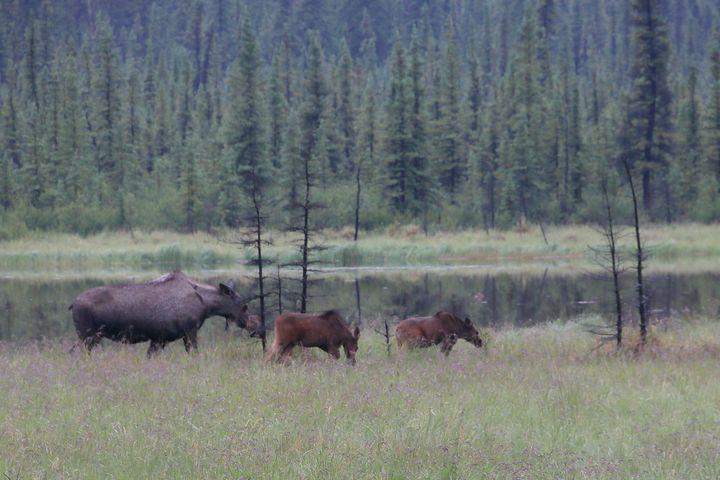 Moose Calves - Adventure Images