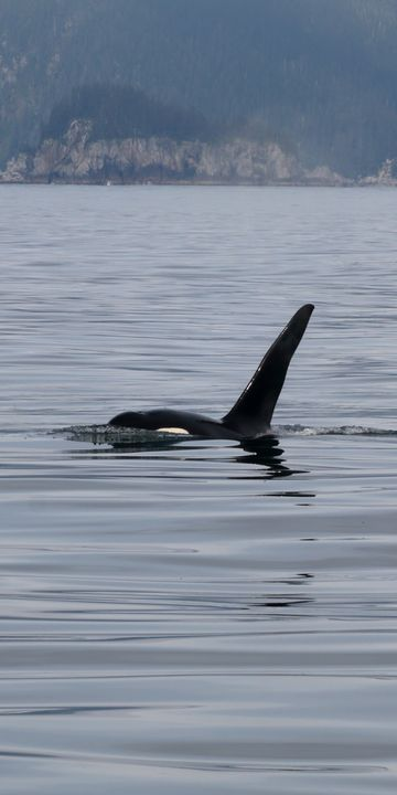 Peaking Orca - Adventure Images