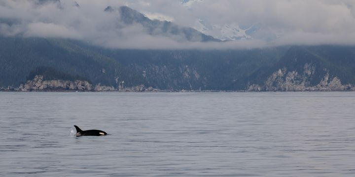 Cloudy Day Orca - Adventure Images