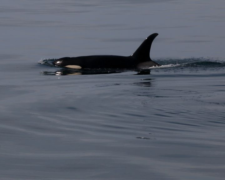Orca Close - Adventure Images