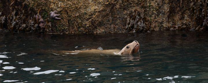 Sea Lion Taking A Swim - Adventure Images