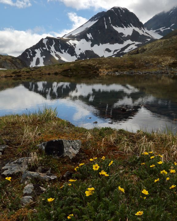 Crow Pass Yellow Flowers - Adventure Images