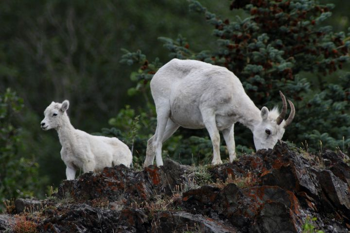 Dall Sheep - Adventure Images