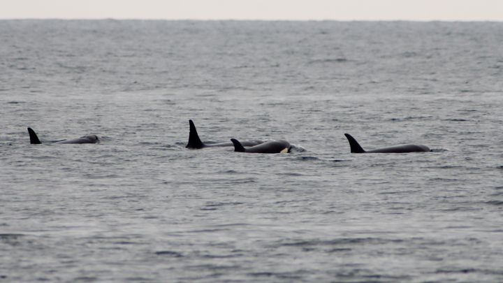 Orca Pride - Adventure Images