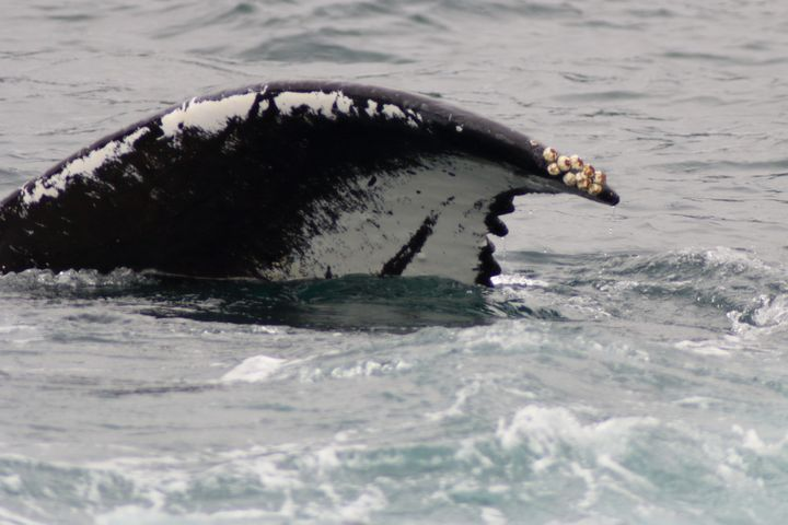 Barnacles On The Tail - Adventure Images