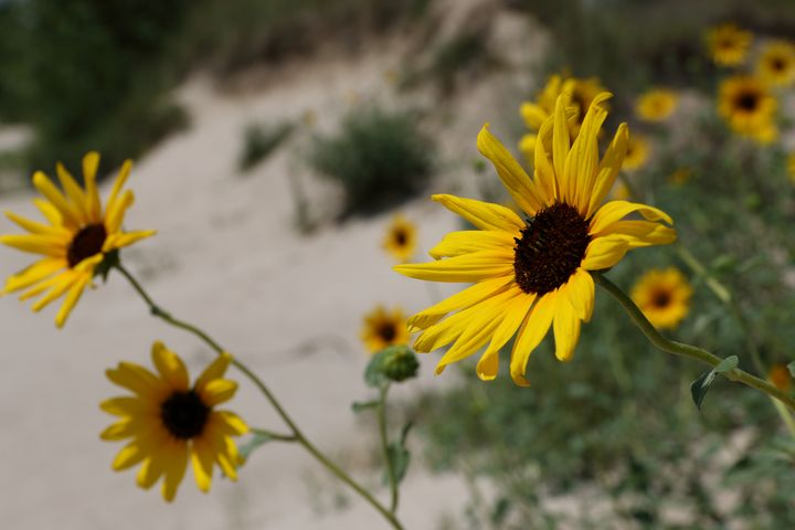 Nebraska Sunflowers - Adventure Images