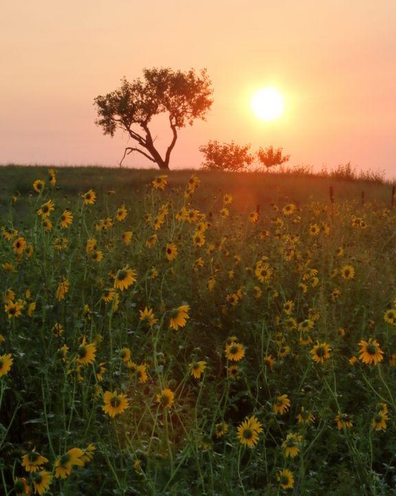 Nebraska Sunflower Sunrise - Adventure Images