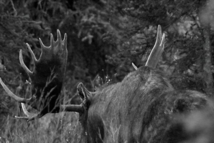 Bull Moose - Adventure Images