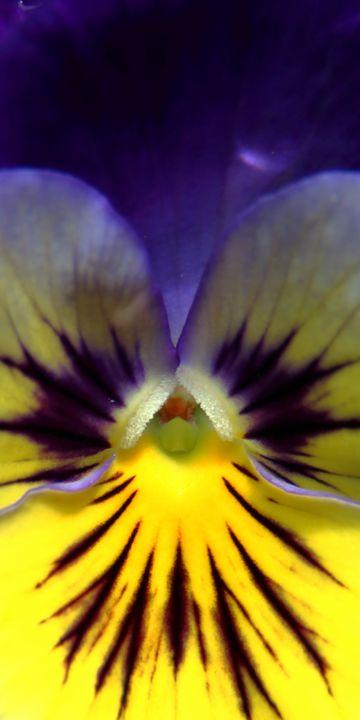 Tall Viola - Adventure Images