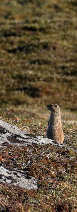 Mountain Marmot II - Adventure Images