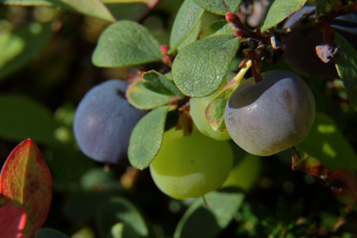 Alaska Blueberries Getting Ripe - Adventure Images