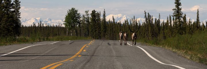 Caribou Traffic - Adventure Images
