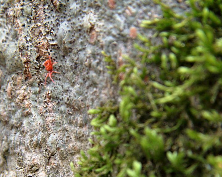 Clover Mite - Adventure Images