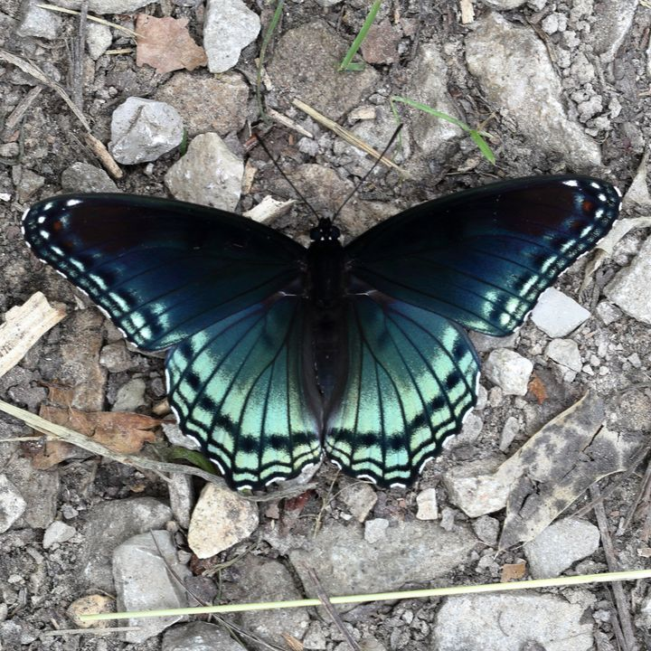 Red spotted purple - Adventure Images