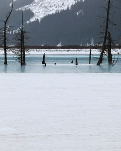 Dead Trees in Ice