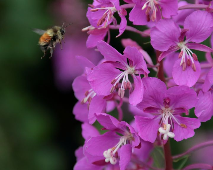 Getting That Fireweed Pollen II - Adventure Images