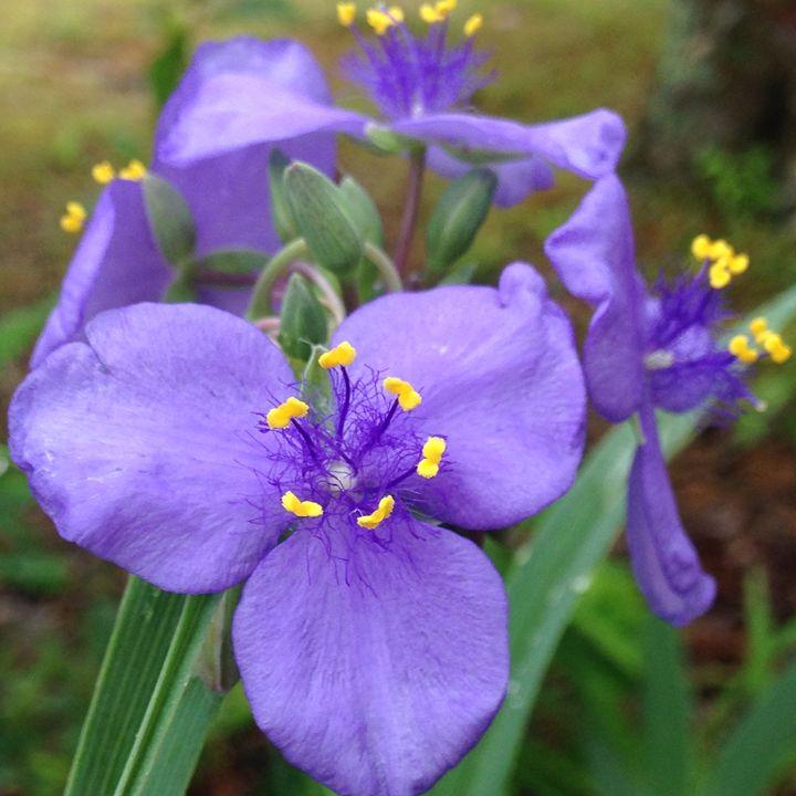 Purple Iris - Backroads Studio