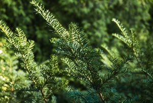 green spruce branches - rokkis